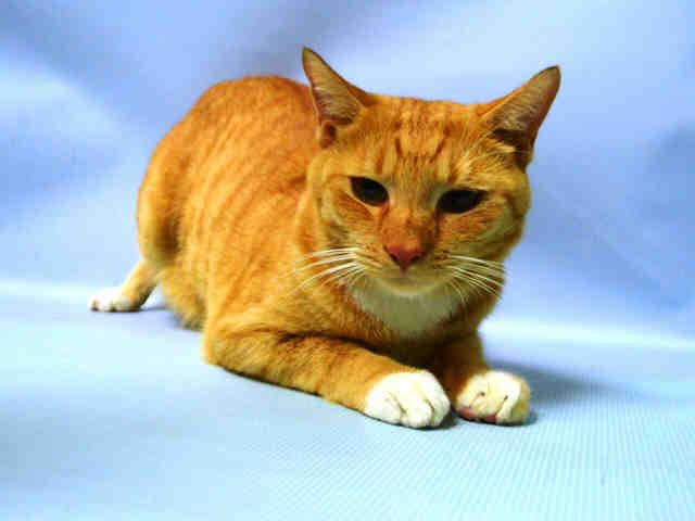 TIRORO - A1057634 - - Brooklyn *** TO BE DESTROYED 11/25/15 *** IF ANYONE NEEDS A HAPPY THANKSGIVING, IT'S TIRORO…..Friendly TIRORO was adopted and RETURNED one day later!! Citing PERSONAL PROBLEMS, the one day owner casually dumped TIRORO back at the ACC…Despite this upheaval in his life, TIRORO has an AVERAGE rating, chirping and head-butting throughout his assessment….Two years old and already NEUTERED, TIRORO would make a welcome addition to you