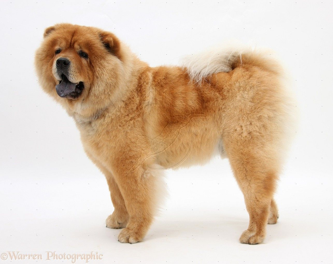 Chow Chow Dog Wallpapers Chow Chow Dogs Dogs Dog Photos