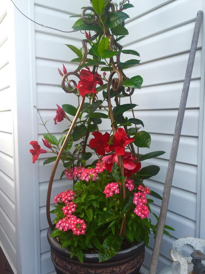Under Planting Mandevilla Containers And Arrangements