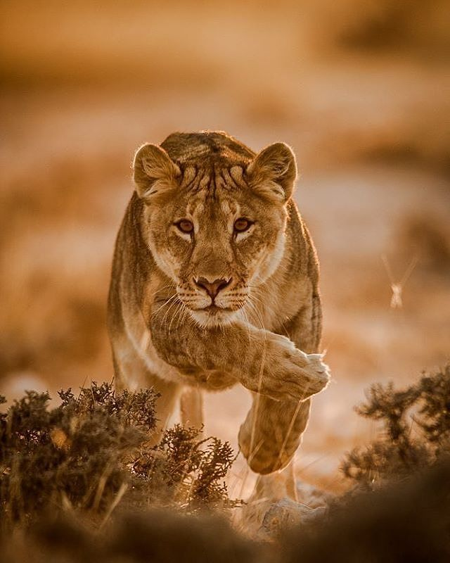 . Photo by @ken_dyball A Lionesse charging towards her sibling. Etosha NP Namibia. #wildlife #Lionesse #ken_dyball #Etosha #charging #Namibia
