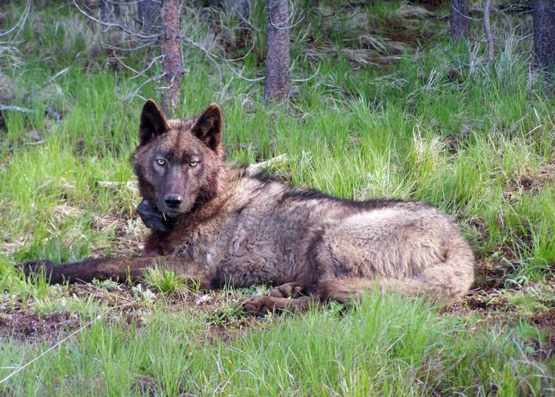 California Defends Wolves, Argues Against Feds Removing
