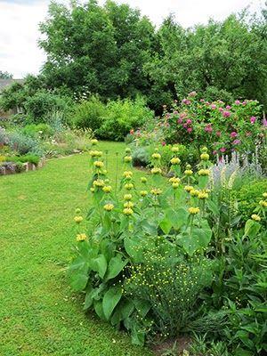 Beet mit Brandkraut Phlomis russeliana Blumen und Blüten im Garten