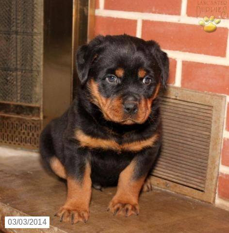 Bruno Rottweiler Puppy For Sale In Newport Pa Rottweiler Puppy For Sale Puppies For Sale Rottweiler Puppies
