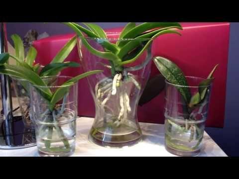 orchideen wurzelschnitt radikal leicht gemacht und wirklich schnell phalaenopsis diy youtube. Black Bedroom Furniture Sets. Home Design Ideas