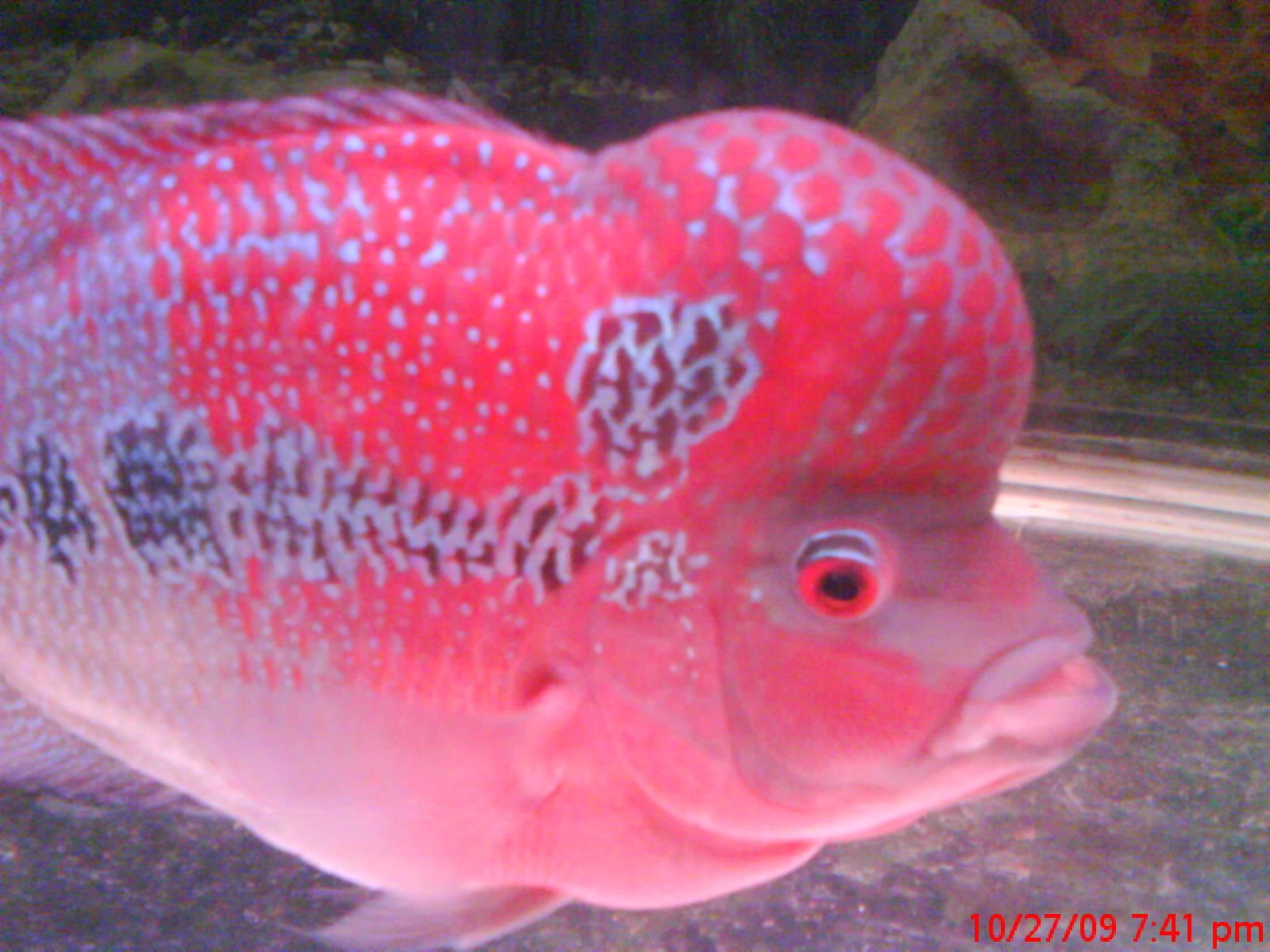 Treetop Garden Petshop Flowerhorn Fish 006 Pet Shop Fish Pet Fish