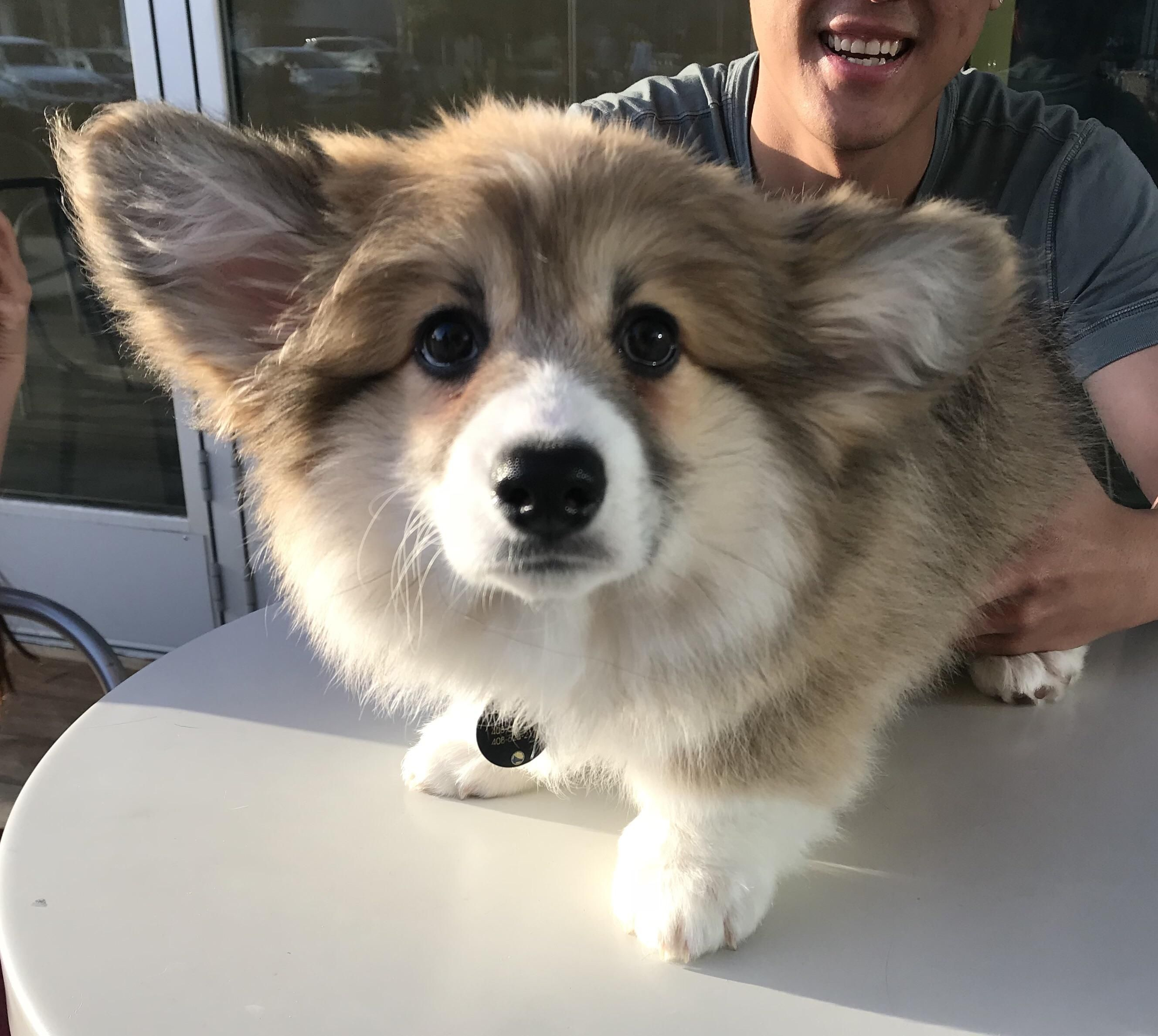Met Cinnabar The Fluffy Corgi Puppy Over The Weekend And My Heart
