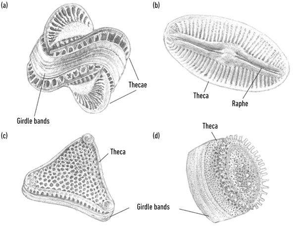 Diatom Structure Diatom Patterns In Nature Real Superheroes