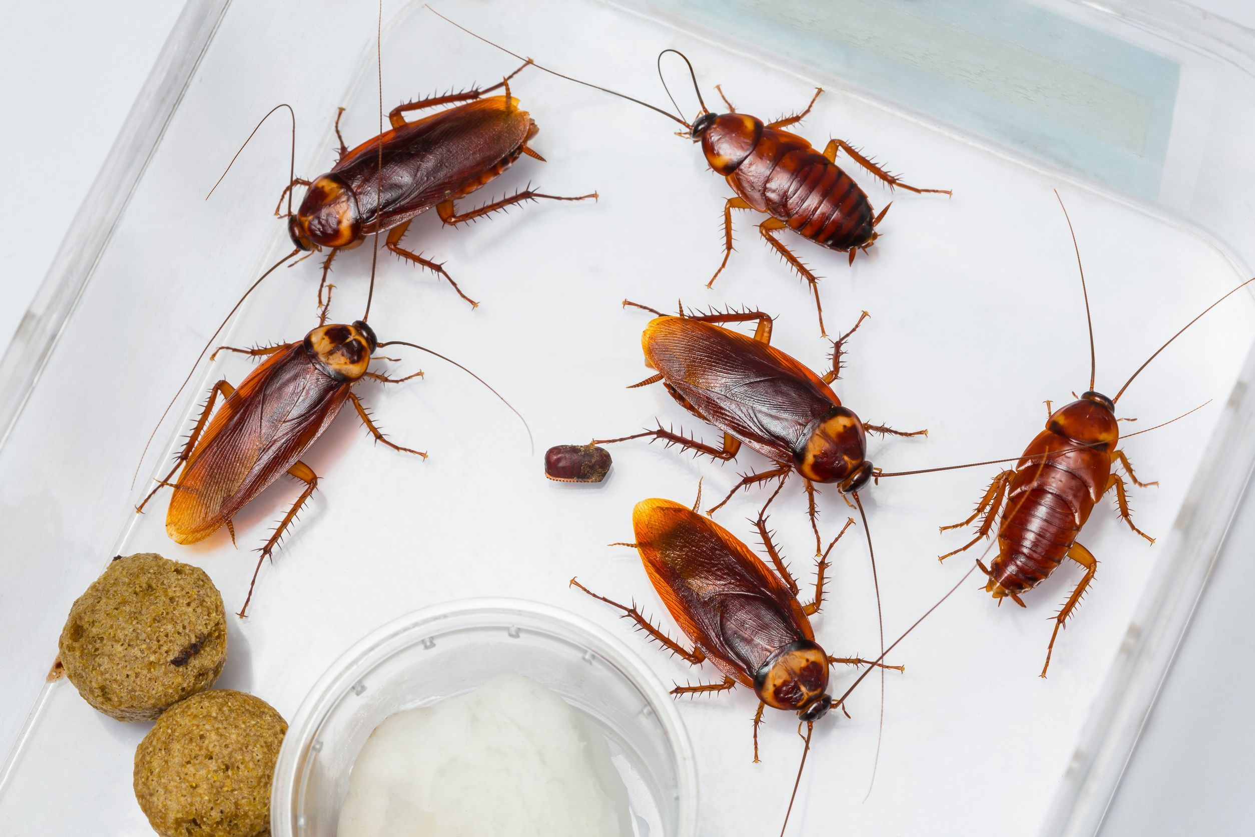 78 best images about get to know cockroaches on pinterest