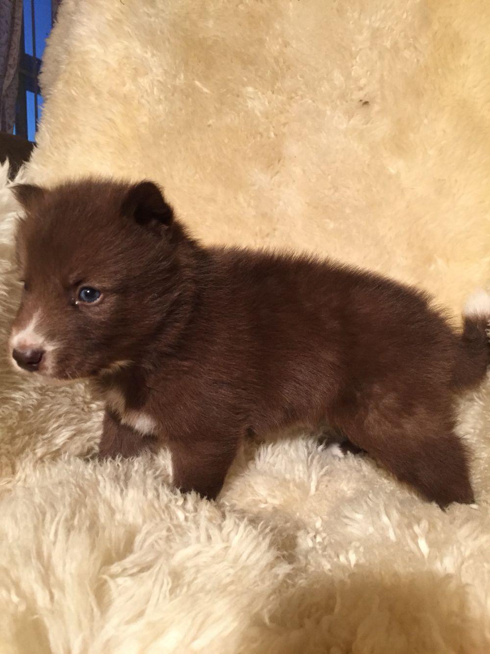 Akc Blue Eyed Rare Dark Chocolate Siberian Husky 6192459393