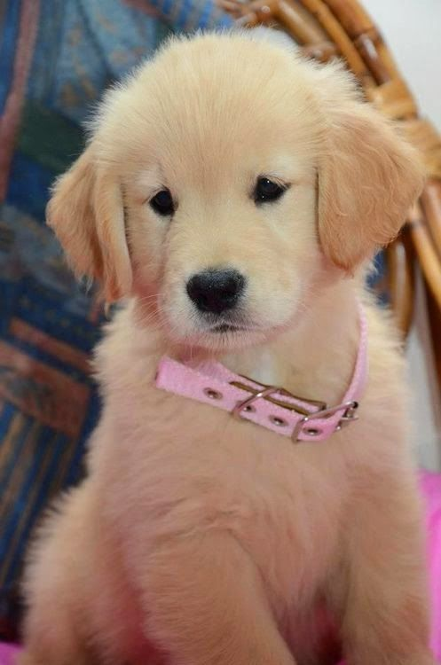 A Golden Retriever Puppy Look At That Adorable Little Face