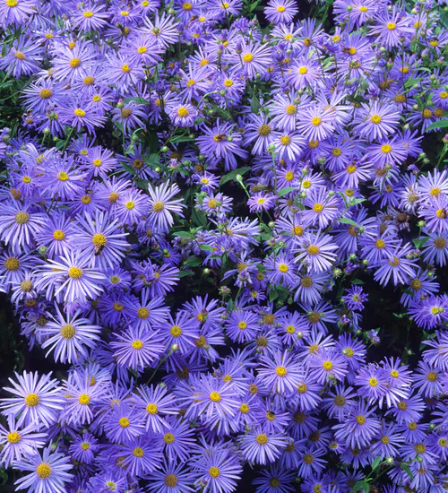 Aster X Frikartii Monch Purple Flowers Garden Blue Flowers Flower Garden Plans