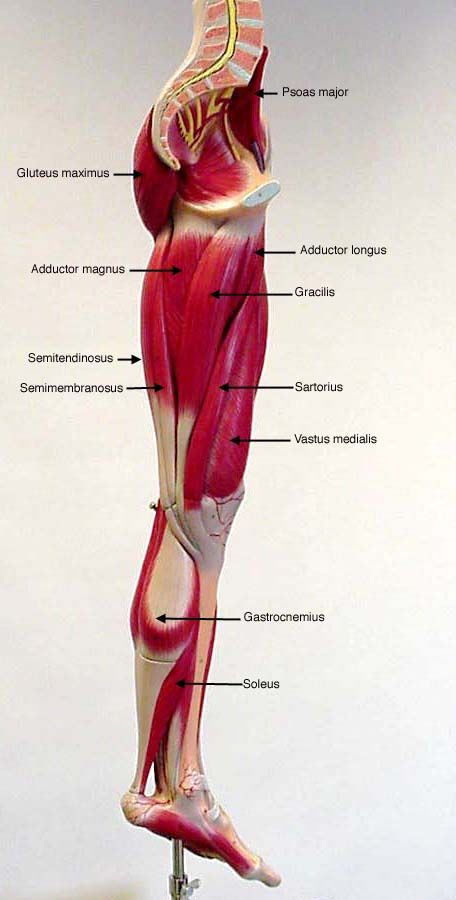 Labeled Medial View Of Leg Muscles Muscles And Vascular In 2018