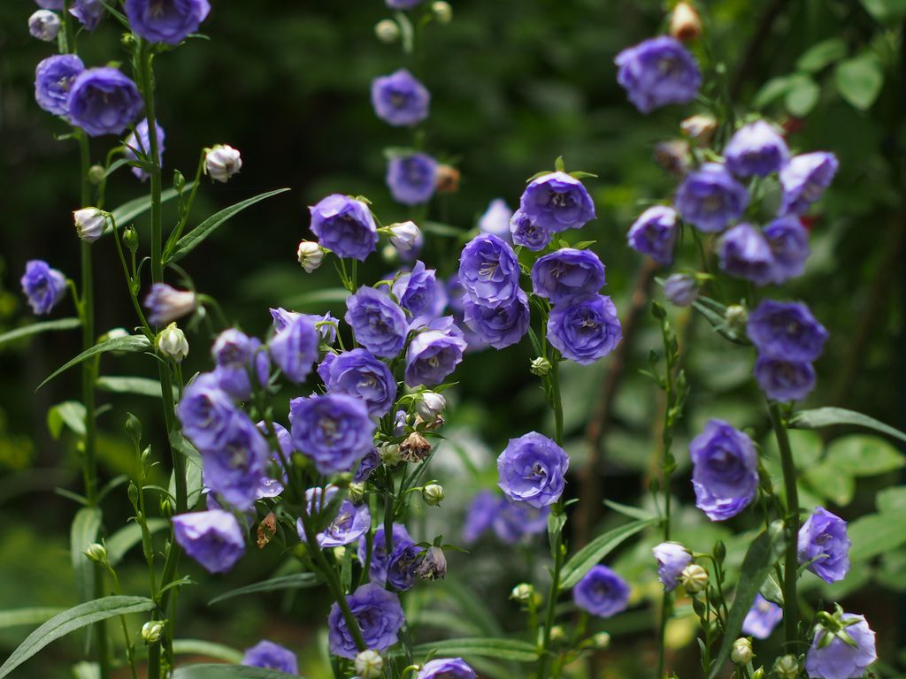 Campanula persicifolia 'La Belle' | Campanula persicifolia 'La Belle' @Mon jardin | Flickr - Photo Sharing ...
