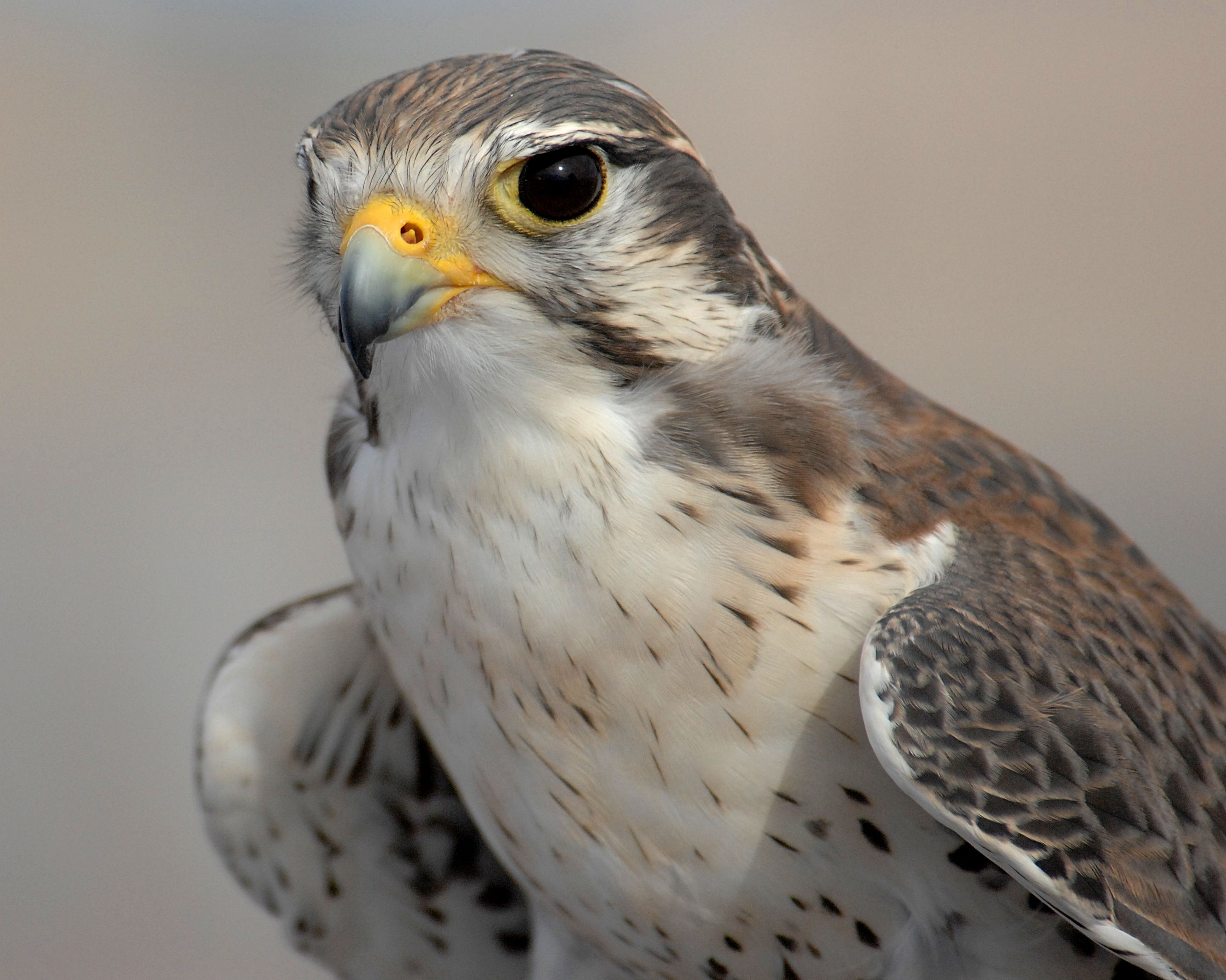 Pin By Brenda Donahue On Falcon Peregrine Falcon Air Force Academy Peregrine