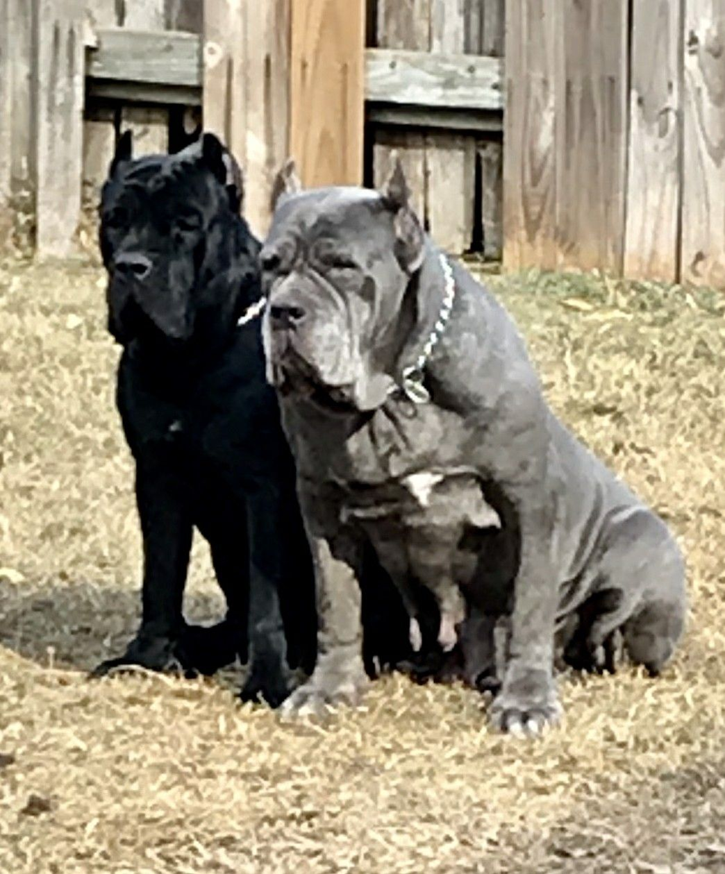 Pin By Glamheartcafe On Cane Corso Forever And Ever Cane Corso