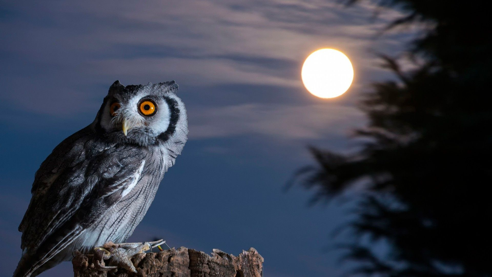 Night Owl Moon HD Wallpaper. Hayvanlar, Müzik