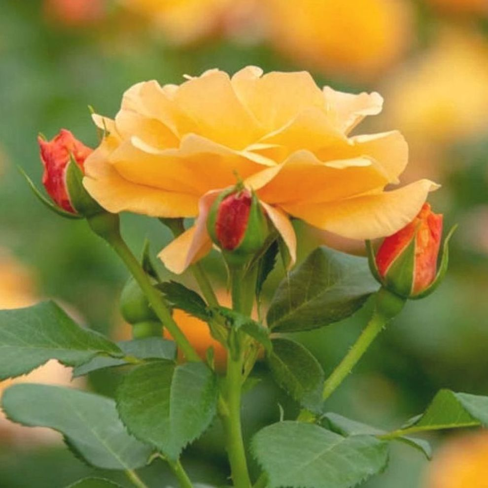 Pin On Yellow Roses