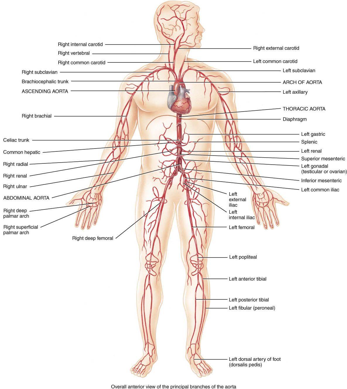 major veins and arteries in body [ 1185 x 1328 Pixel ]