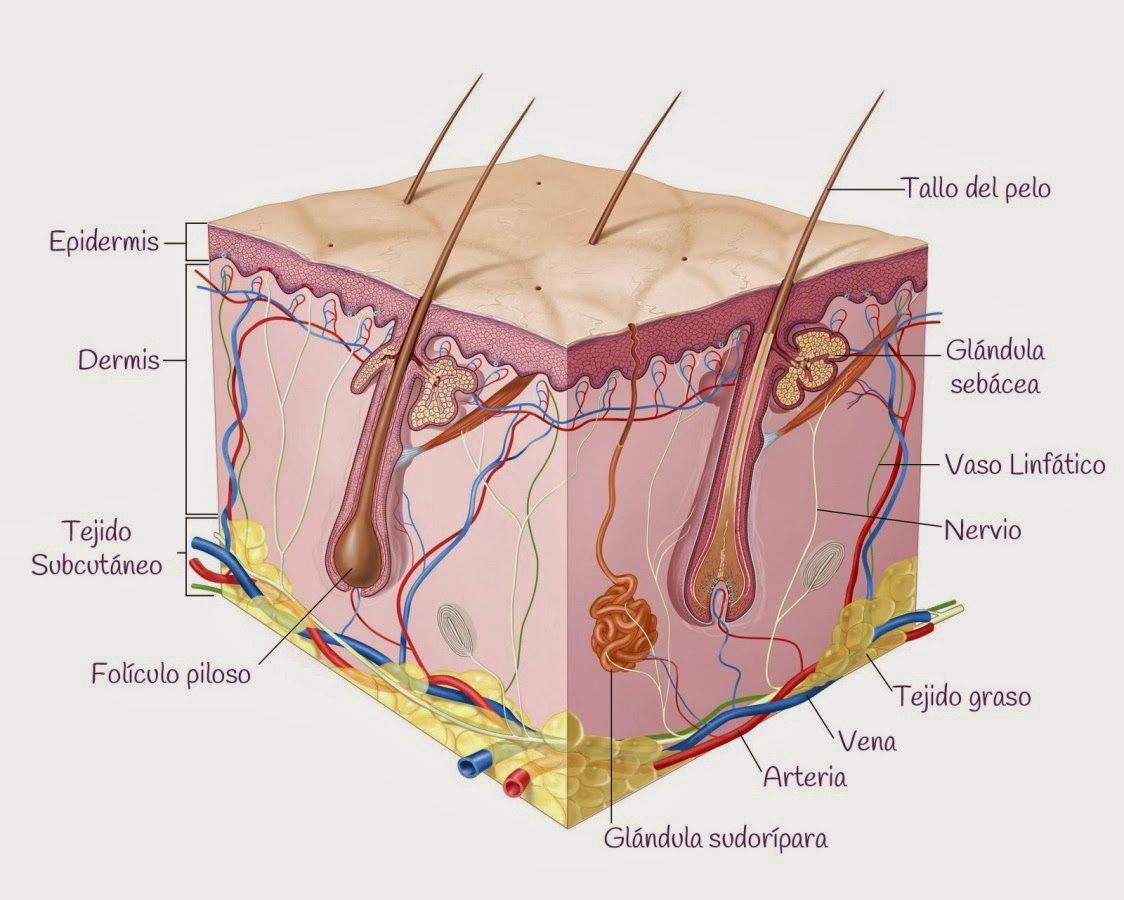 Alimentacion Para Una Piel Saludable 1 Capas De La Piel Anatomia De La Piel Cancer De Piel