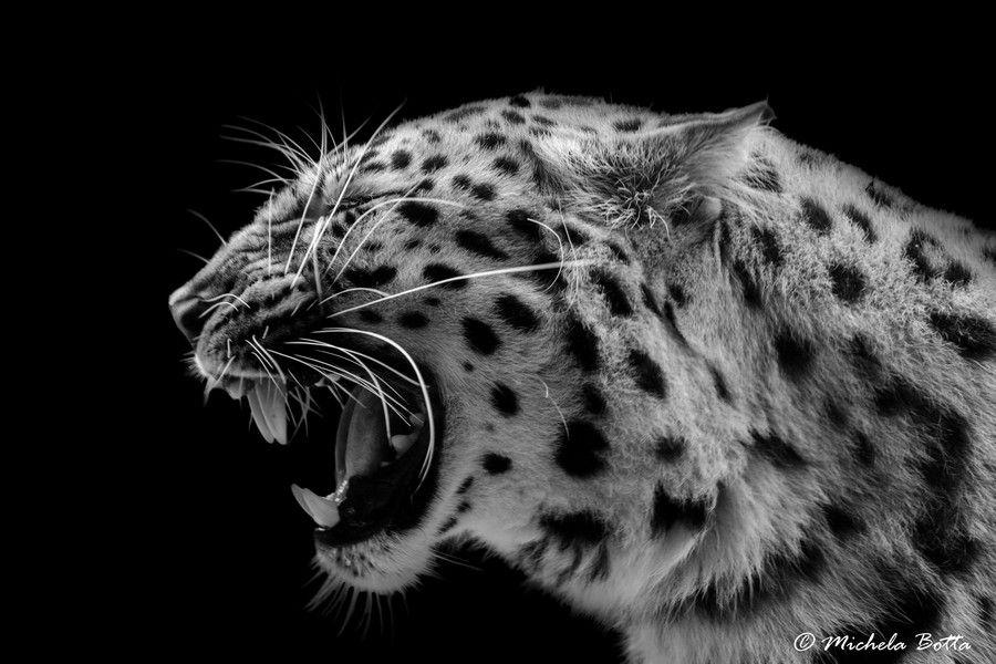 посещая картинки леопарды с черным фоном согласятся тем, что