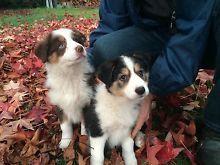 Purebred Border Collie Puppies Reduced Price Yackandandah Indigo