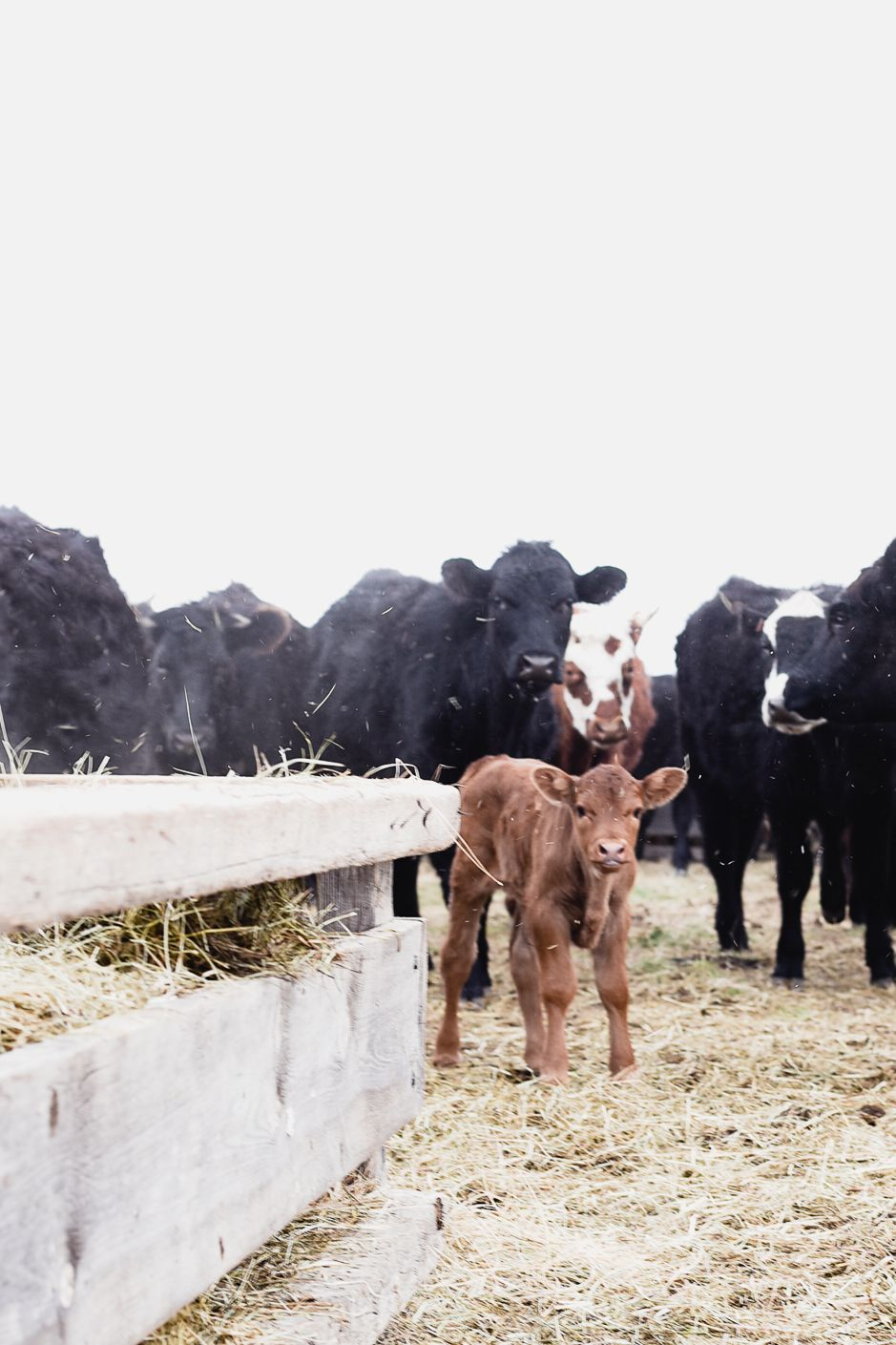 Why We Feed Heifers in the Afternoon | Cattle Farming