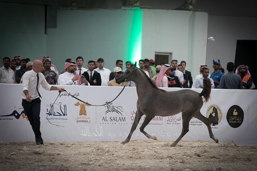 صور مقتطفة من اليوم الأول لبطولة الرياض 2019 لجمال الخيل العربية الأصيلة Arabian Horse Horses Arabians