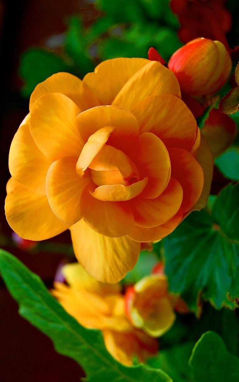 Orange Begonia // yourlovelifeworld // Tumblr.