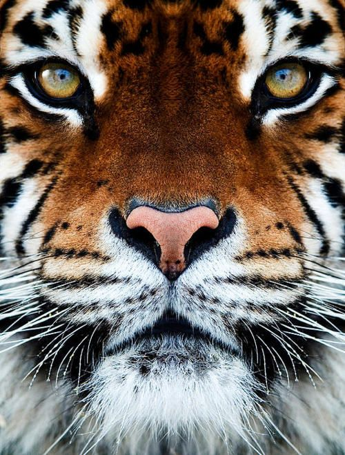 this is a straight front facing angle of the tiger s face animals
