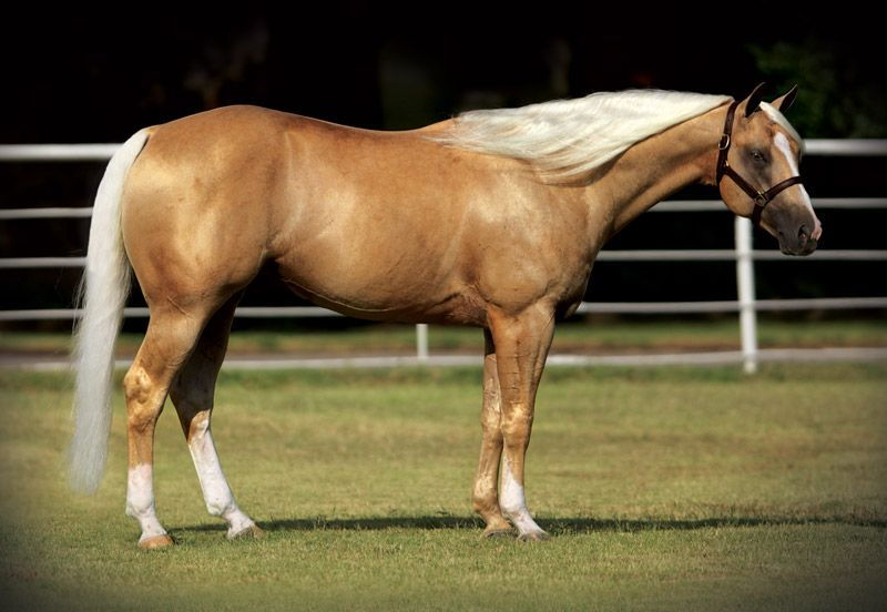 AARON RANCH....A Shiner Named Sioux 2006 Palomino Stallion Shining Spark x Docs Sulena  LYE: $154,971.00