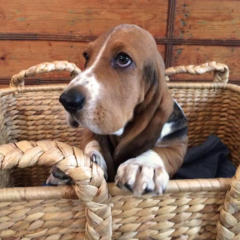 Pin de hush puppies en Mundo Hush Basset