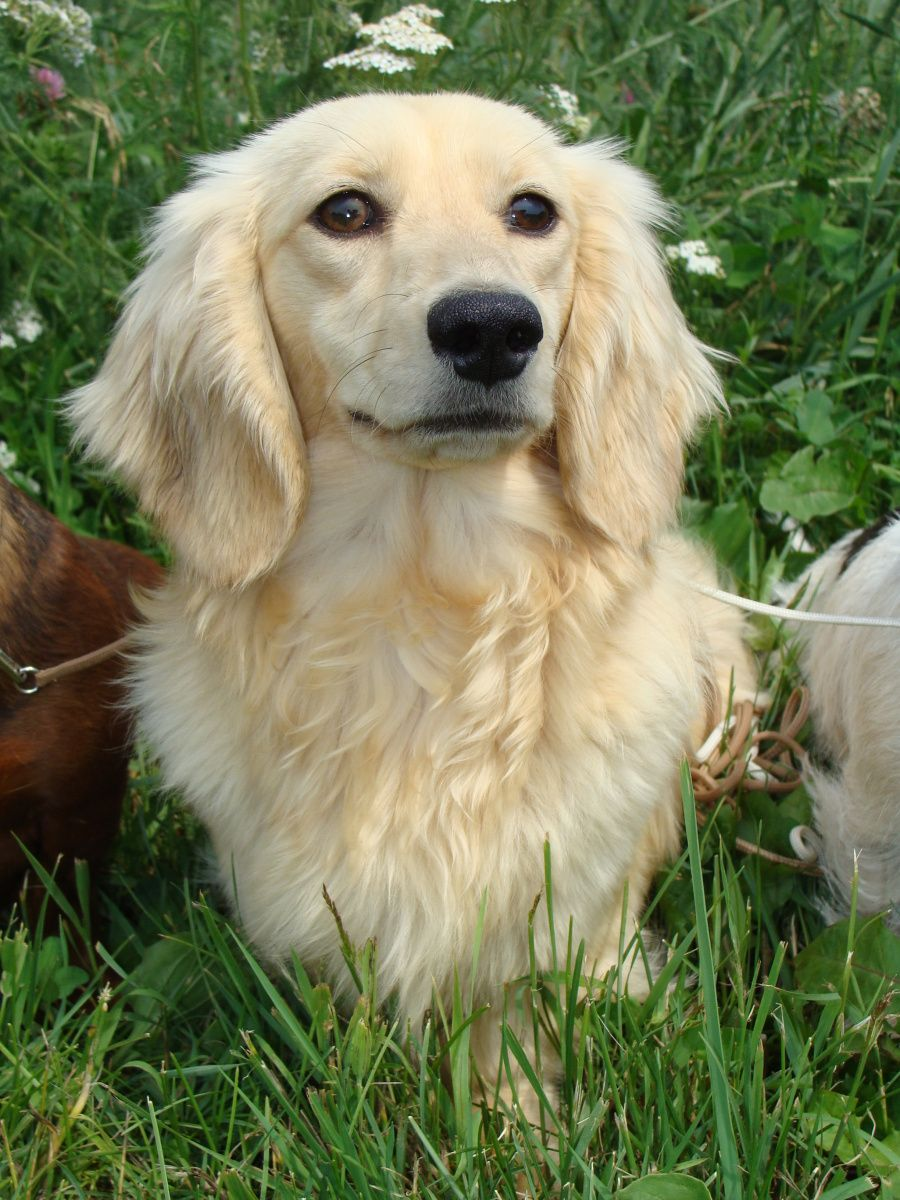 Miniature Dachshund Long Haired Breed Information History Health