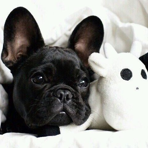 My Mood Today Frenchie Puppy Stayinbed Blackandwhite At