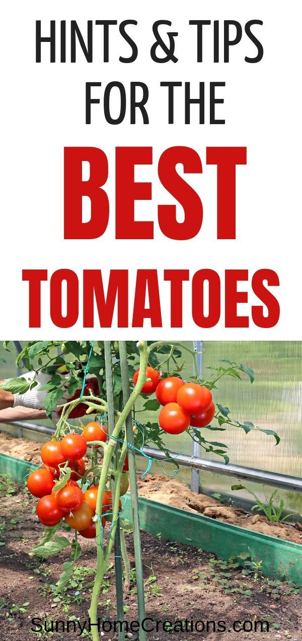 7 Tips and Hacks to Grow Huge, Juicy Tomatoes is part of Tomato garden, Growing tomatoes, Gardening tips, Veggie garden, Tomato, Juicy tomatoes - To make sure that you get the freshest, juiciest, and biggest ones, here are 7 tips to keep in your mind when growing tomatoes