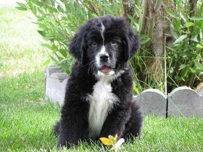Bernefie Puppy Bernese Mountain Dog And Newfoundland Mix Unique