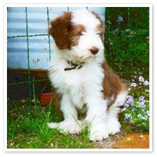 Brown Bearded Collie Bearded Collie Collie Puppies Bearded
