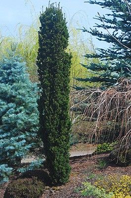 Taxus X Media Beanpole Is An Upright Columnar Hybrid Evergreen Yew That Typically Grows Narrowly Upward With Ascend Plants Conifers Garden Landscaping Plants