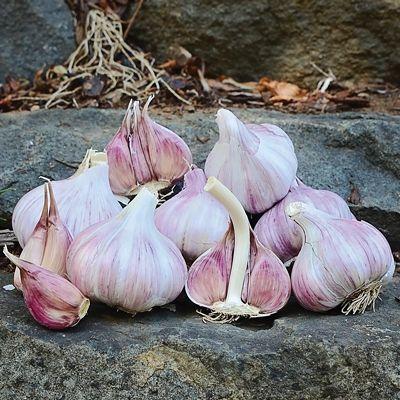 Duganski Garlic Hardneck Garlic Garlic Seeds For Sale
