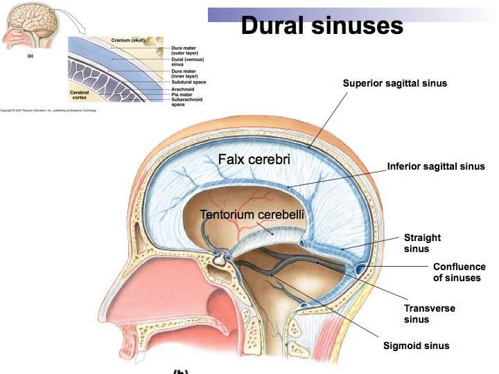 venous sinuses of the brain lie between - Google Search | vascular ...