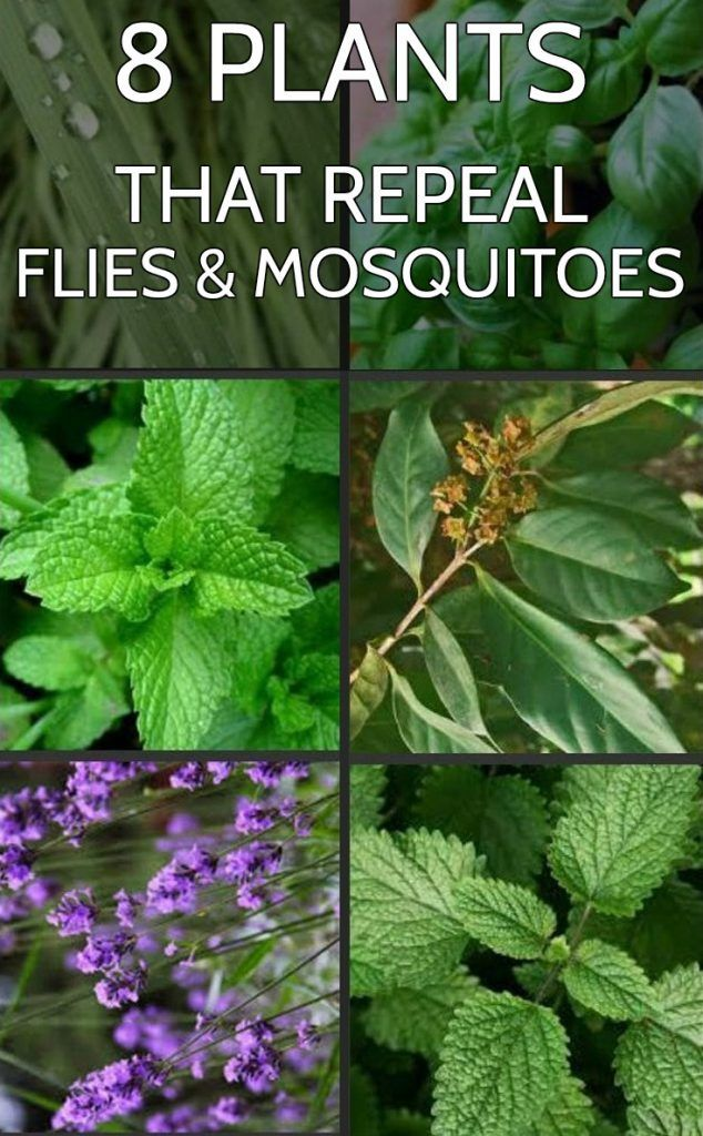 8 plants that repeal flies and mosquitoes   Mosquito ...