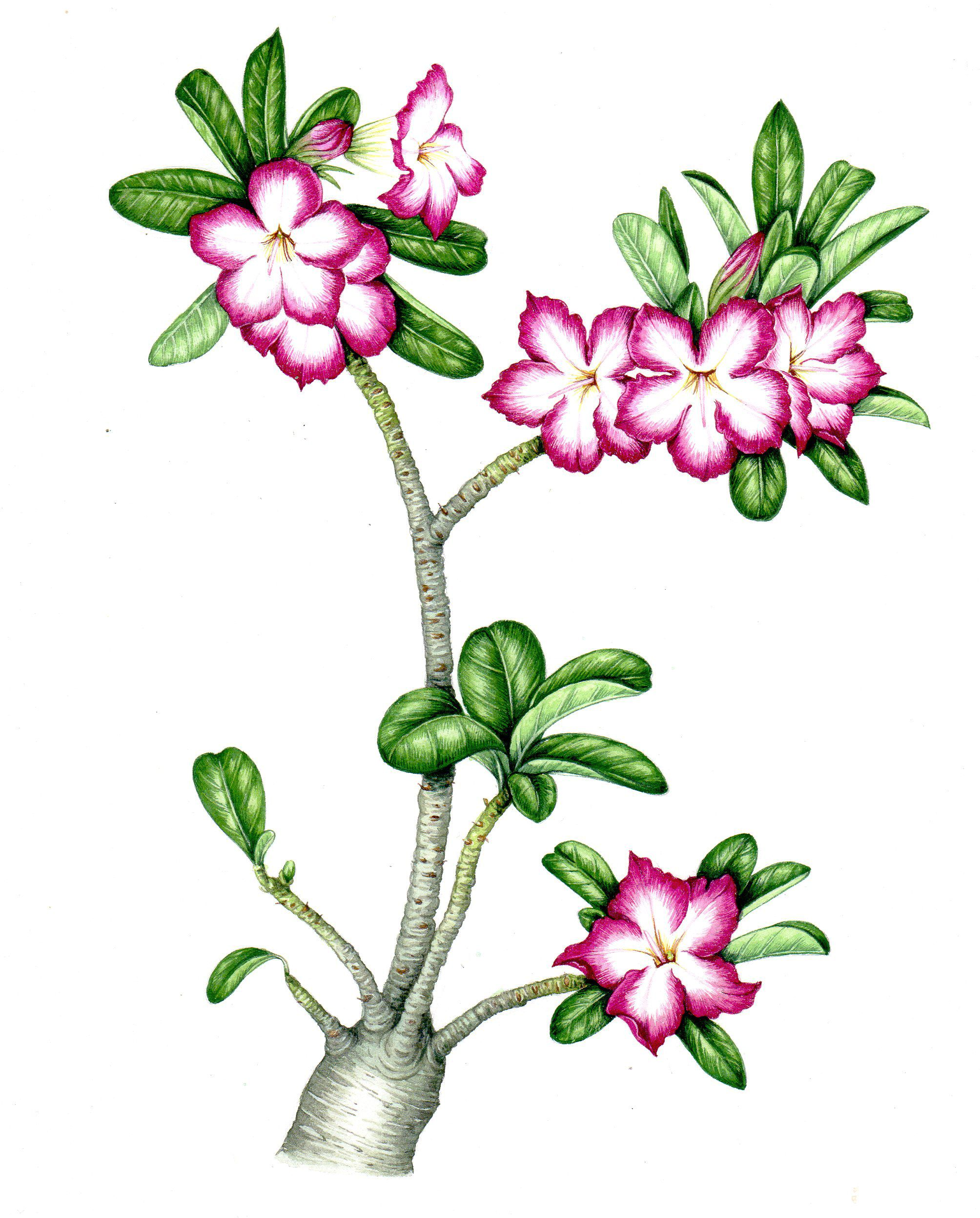 This Is The Desert Rose A Remarkable Plant Which Stores Liquid In Its Bulbous Roots And Thus Can Live In Very Ar Botanical Illustration Flower Art Desert Rose