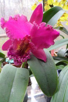 Cattleya Orchid Cattleya Orchid Orchid Flower Beautiful Flowers Garden