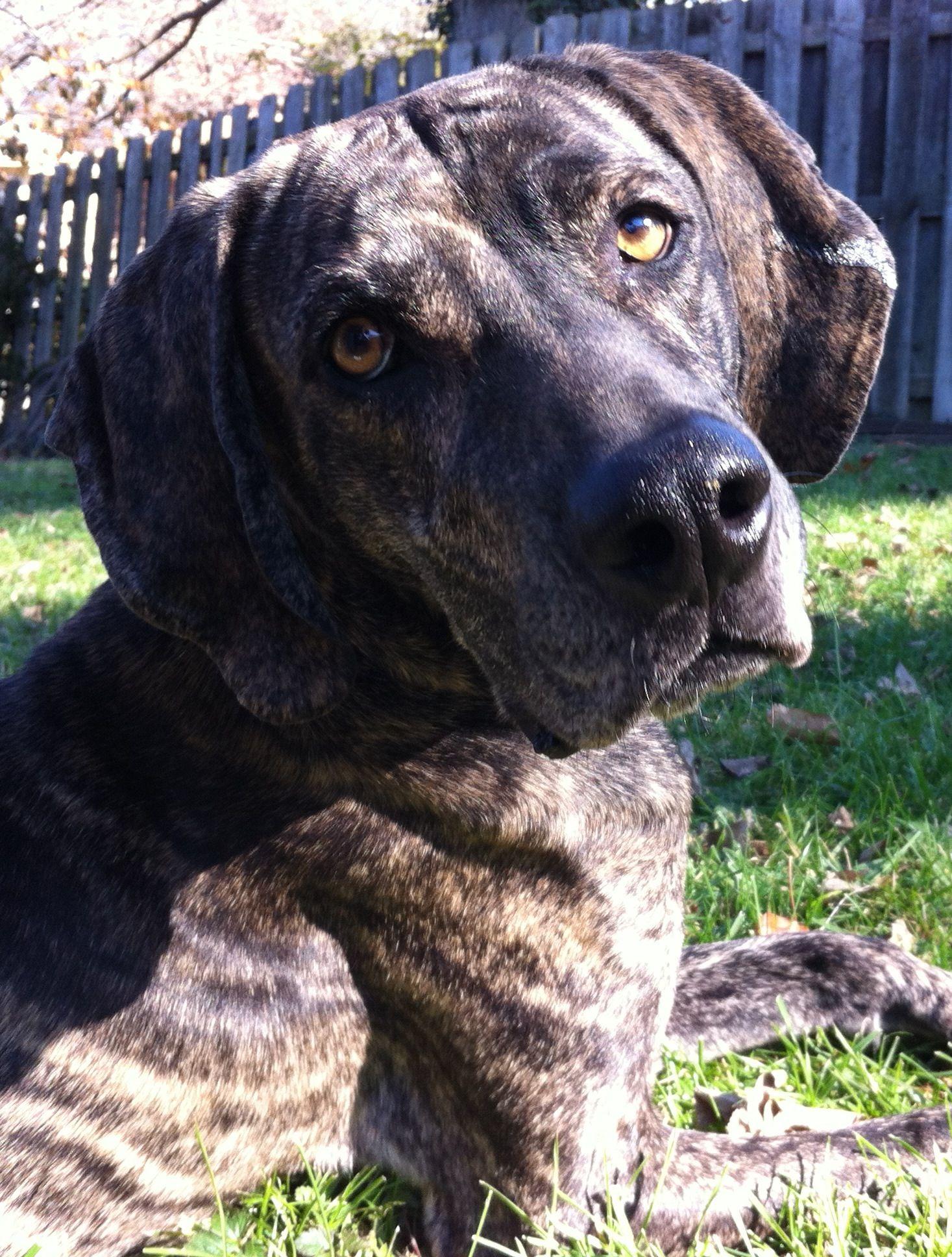 Plott Hound Dog For Adoption In Cincinnati Oh Adn 590223 On Puppyfinder Com Gender Male Age Adult Plott Hound Hound Dog Dog Adoption