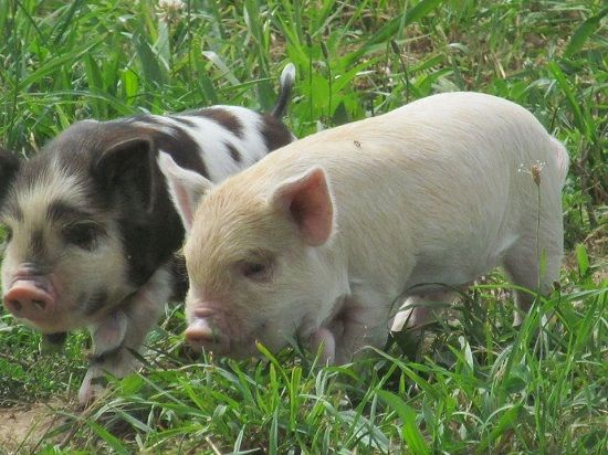 Minerals In Your Pastured Pigs Diet Mother Earth News Pastured Pigs Pig Pig Farming
