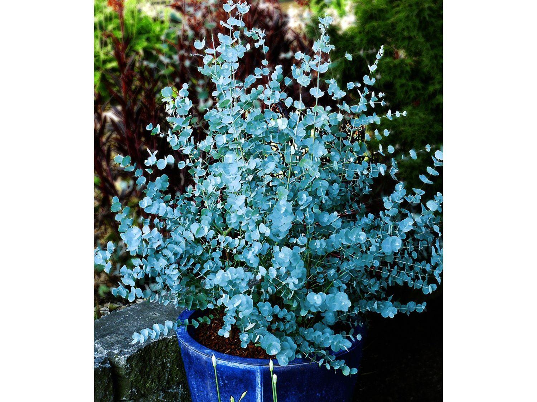 Winterharter Eukalyptus Azura 1 Pflanze Eucalyptus gunni 1