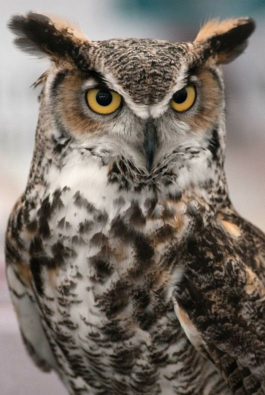 """Great horned owl The great horned owl (Bubo virginianus), also known as the tiger owl (originally derived from early naturalists' description as the """"winged tiger"""" or """"tiger of the air"""") or the hoot owl,[2] is a large owl native to the Americas"""
