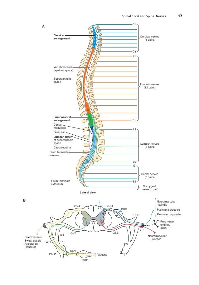 epidural space limits - Google Search | Anaesthetics - Anatomy ...