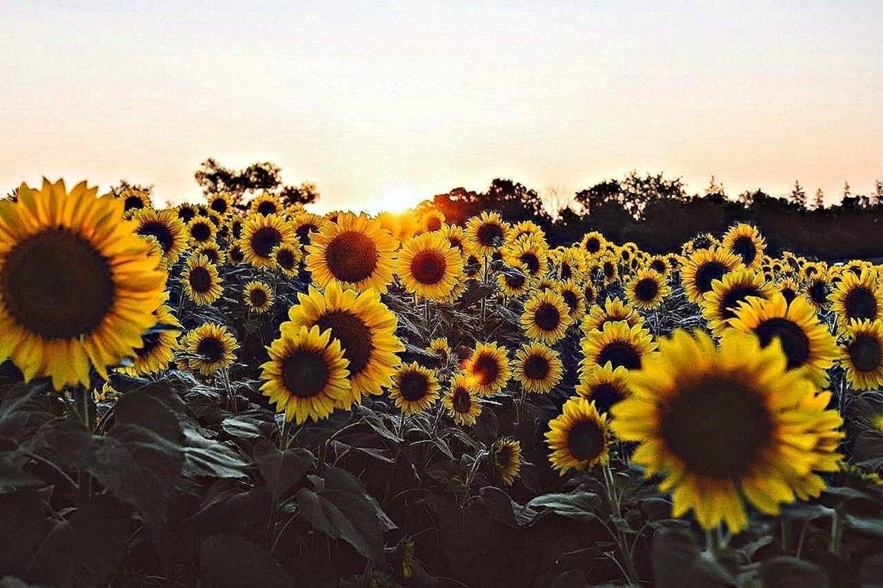 Pin On Sunflower Wallpapers For Laptop Laptop Wallpaper Sunflower Wallpaper Laptop Wallpaper Desktop Wallpapers