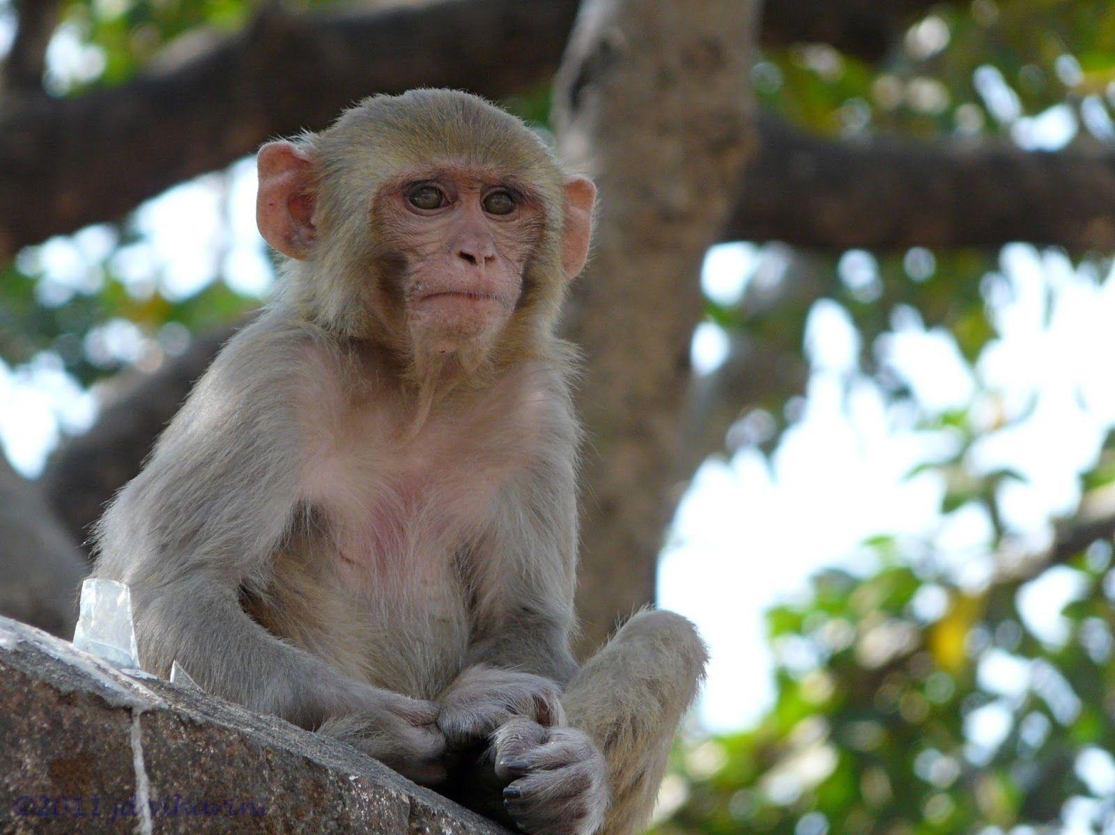 Indian Monkey Images