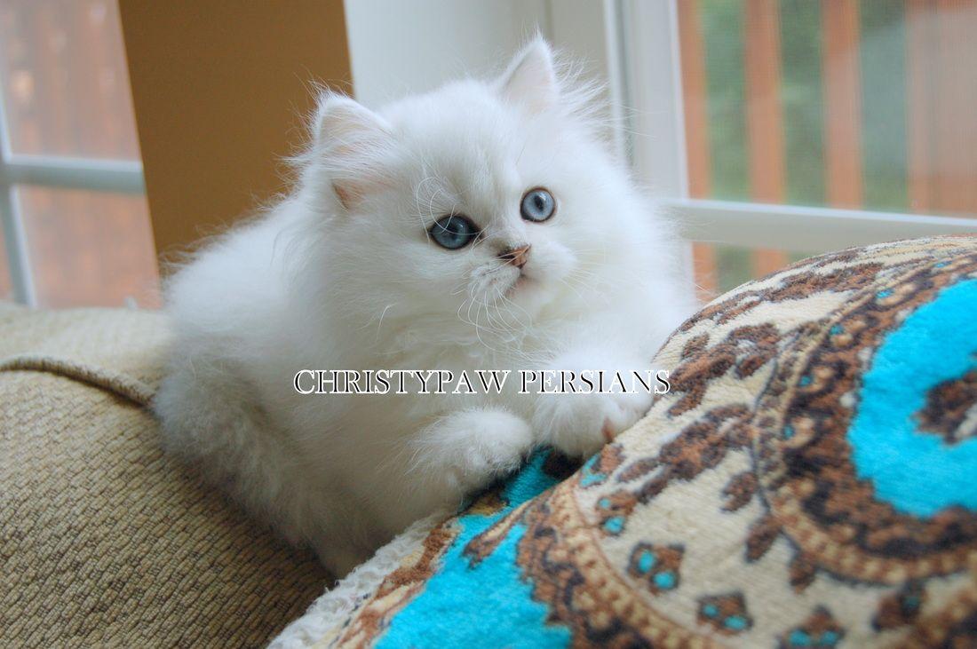 Doll Face Persian Kittens For Sale Christypaw Persians Persian Kittens For Sale Persian Kittens Kittens